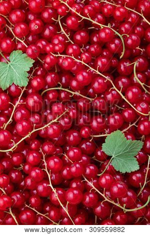 Red Currant Shot From Above. A lot of fresh picked red currant. stock photo
