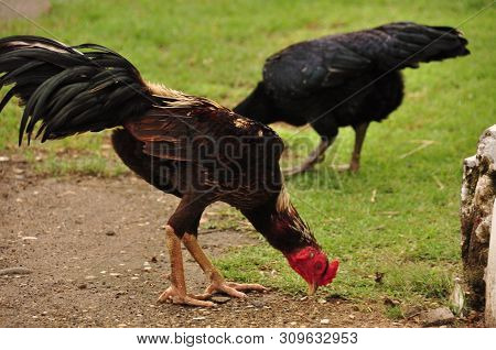 Rooster with a red comb. Poultry. Wild chicken from Indonesia. stock photo