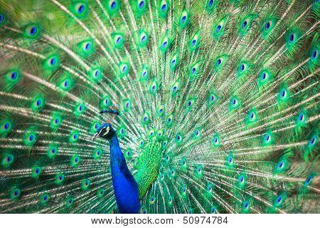 Splendid paon avec plumes dehors (pavo cristatus) (shallow dof ; couleur image tonique)
