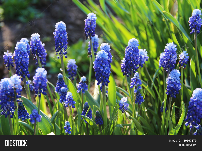 Spring Flowers Blue Flowers Muscari Or Murine Hyacinth Photo Stock