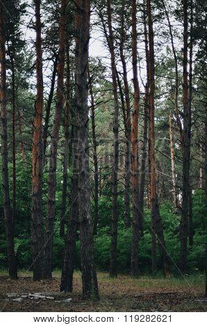 Fairy tale fir tree forest. Pine Forest. A rural road through a-Lg Fridge Magnet Skin (size 36x65)