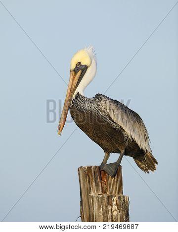 Immature Brown Pelican (Pelecanus occidentalis) perched on a dock piling - Estero Island Florida stock photo