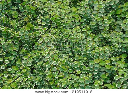 Nature green tiny leaf wall background in spring time. stock photo
