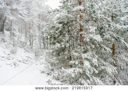 Winter travel, beautiful landscape of snowy pines with fog, Port of Navacerrada in Madrid, Spain., Port of Navacerrada in Madrid, Spain.Port of Navacerrada in Madrid, Spain. stock photo