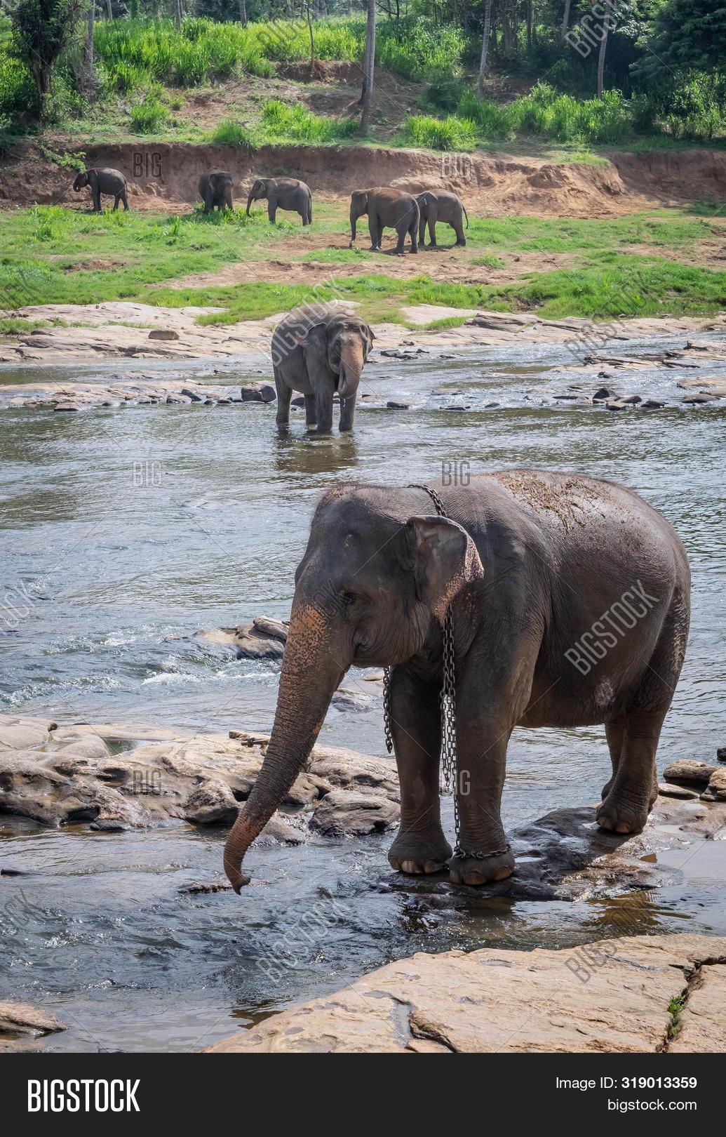 Asian Elephants at Pinnawala Elephant Orphanage, Sri Lanka Here is nursery and captive breeding ground for wild Asian elephants located at Pinnawala village.