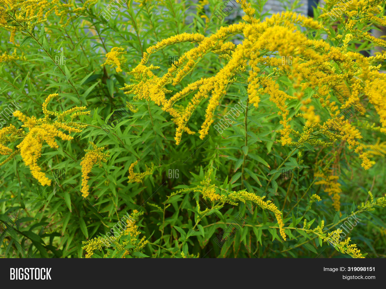 Bright shrubs with yellow flowers, a giant golden rod with interesting bloom, solidago gigantea, tall goldenrod, giant goldenrod.
