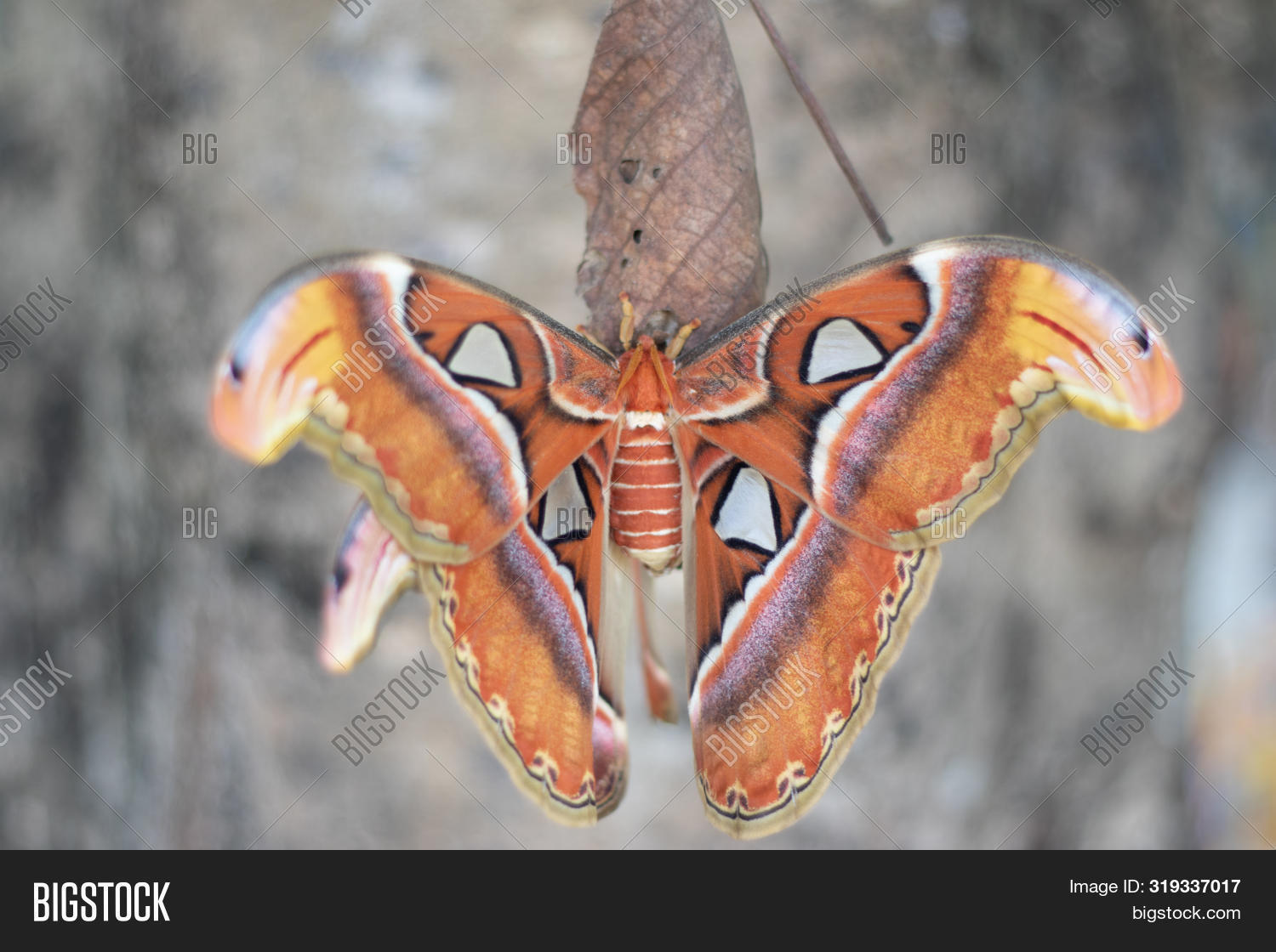 animal,antenna,asia,atlas,attacus,beautiful,beauty,big,biggest,bright,brown,bug,butterfly,clipping,closeup,cocoon,colorful,creature,dangle,delicate,delicated,design,entomology,environment,exotic,fragile,giant,green,habitat,hang,insect,large,lepidoptera,macro,moth,natural,nature,nocturnal,paciousmoth,paper,pattern,pulp,pupa,resting,silk,summer,tropical,wild,wildlife,wing