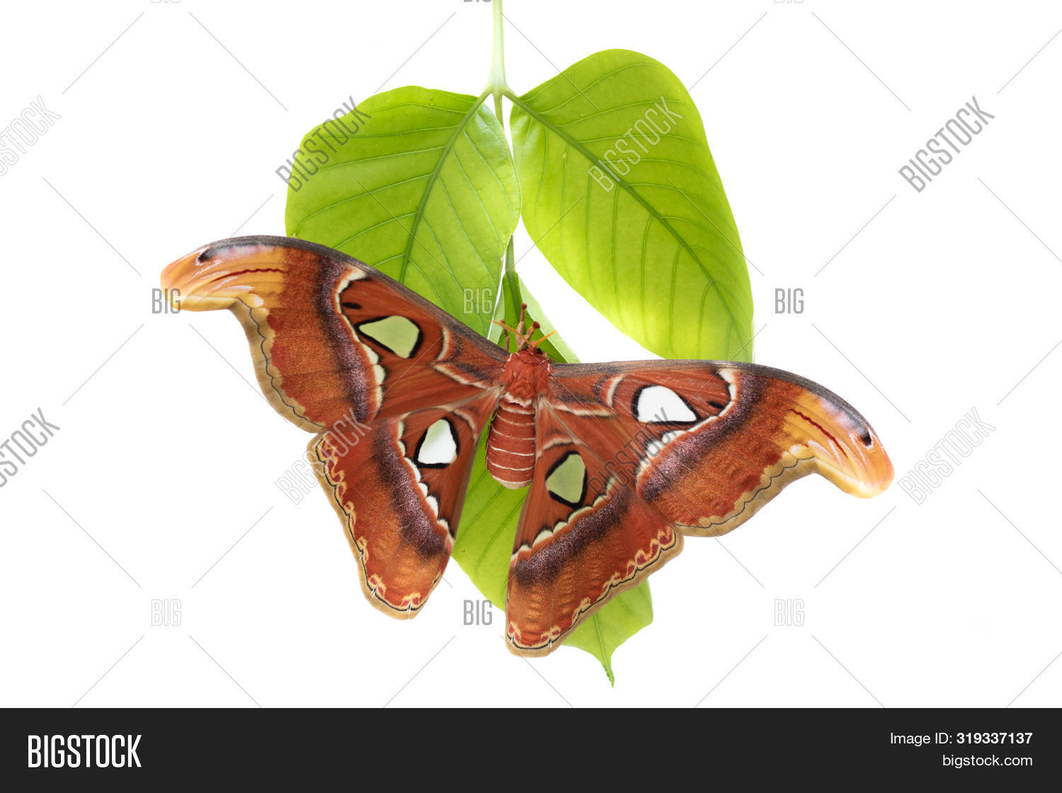 animal,antenna,asia,atlas,attacus,beautiful,beauty,big,biggest,bright,brown,bug,butterfly,clipping,closeup,cocoon,colorful,creature,dangle,delicate,delicated,design,entomology,environment,exotic,fragile,giant,green,habitat,hang,insect,large,lepidoptera,macro,moth,natural,nature,nocturnal,pacious