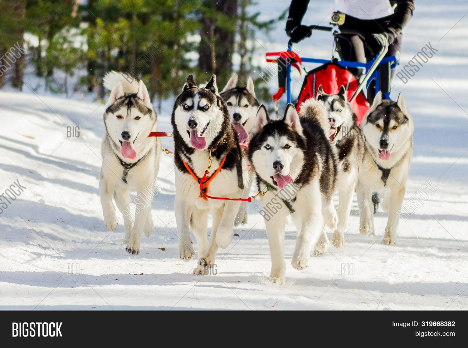 action,active,activity,adventure,animal,beautiful,canine,challenge,championship,cold,competition,cup,cute,day,dog,dog-sled,dogsled,dogsledding,drive,eyes,face,fast,forest,friend,fur,harness,husky,meeting,motion,mouth,musher,pet,polar,purebred,race,run,running,siberian,sled,sledge,sleigh,snow,sport,team,teamwork,tongue,training,white,win,winter