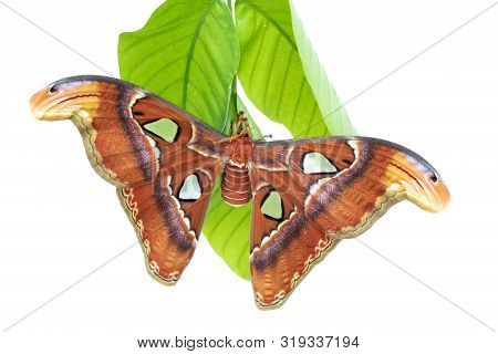 Beautiful big butterfly, Giant Atlas Moth, Attacus atlas, insect in nature habitat,Thailand, Asia stock photo
