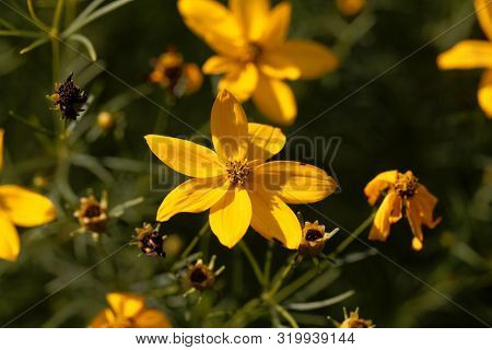 Flower of a whorled tickseed, Coreopsis verticillata stock photo