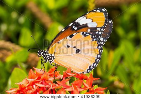 Close up of the Plain Tiger butterfly perching on red Ixora flower stock photo
