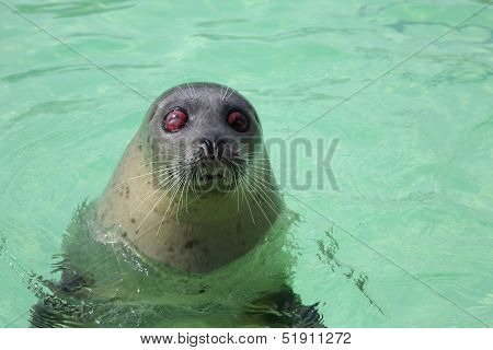 A blind seal in the Ecomare Bassin in Texel stock photo