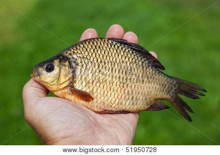 Large freshwater fish crucian in the hand stock photo