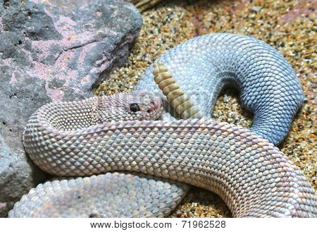 Aruba Island Rattlesnake Crotalus durissus unicolor with tail stock photo
