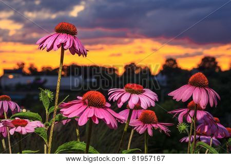 A group of pink coneflowers with one standing above the rest. stock photo