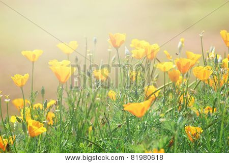 Close-up Of California Golden Poppy Flowers, Yellow Flowers Summer Spring Garden
