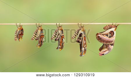Transformation of attacus atlas moth on twig stock photo