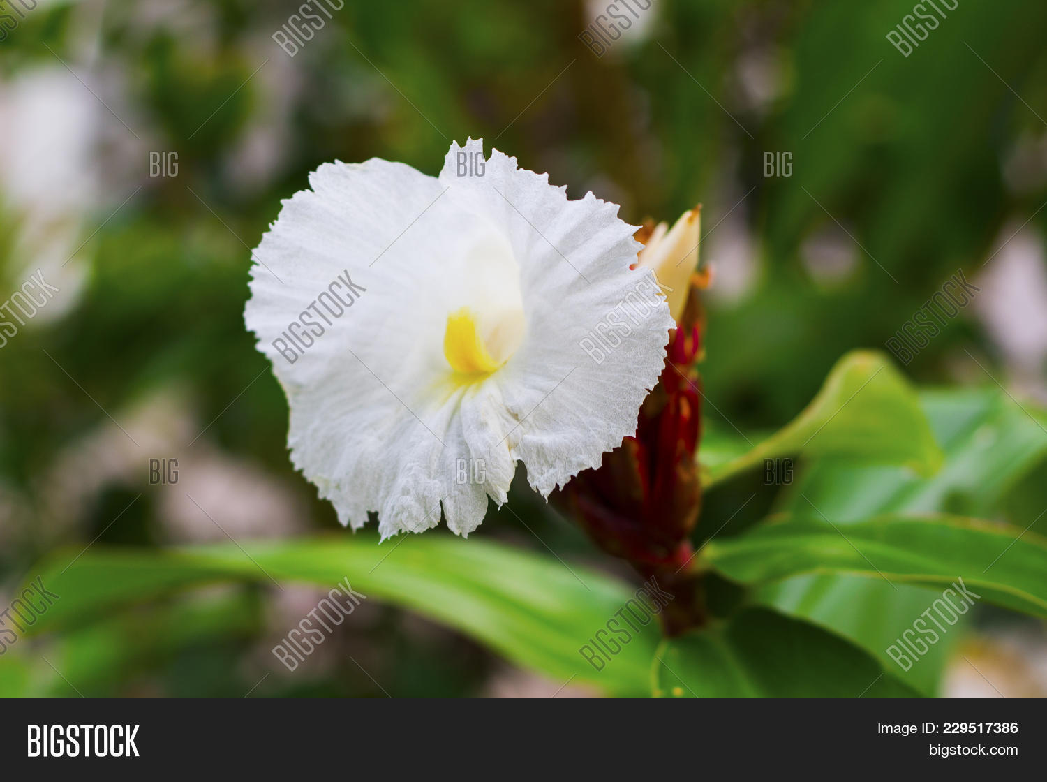White Tropical Flower On Green Branch With Buds White Flower On