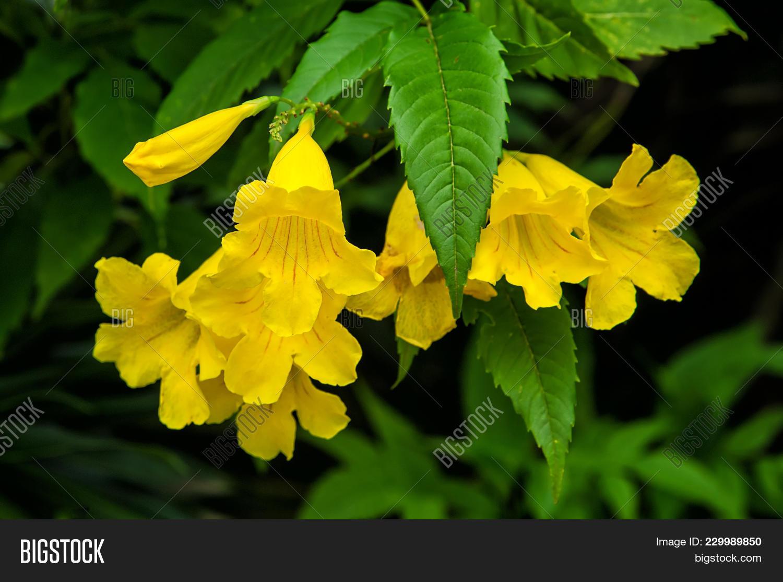 Yellow Elder Yellow Bells Or Trumpet Vine Flowers Scientific