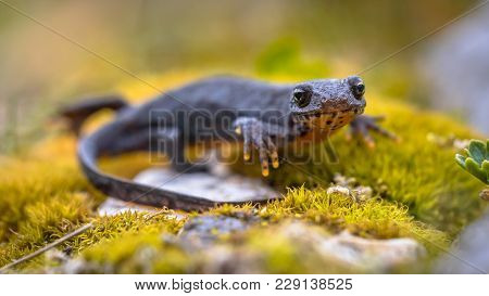 Alpine newt (Ichthyosaura alpestris) sideview on moss and rocks in natural mountain environment stock photo