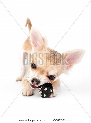 Chihuahua puppy playing with leather spike rocker ring close-up on white background stock photo