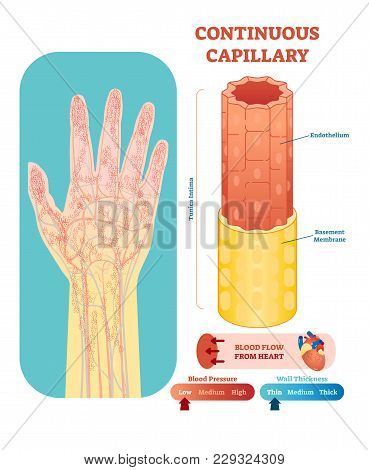 Continuous capillary anatomical vector illustration cross section with tunica intima, endothelium and basement membrane. Circulatory system blood vessel diagram scheme on human hand silhouette. Medical educational information. stock photo