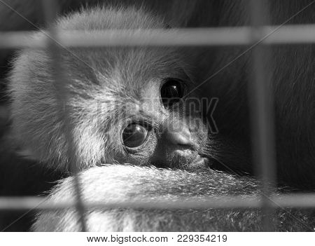 A baby lar gibbon ape, Hylobates lar, in a zoo behind the bars. A young monkey has big dark expressive eyes and childly-looking snout. A portrait photo in black and white stock photo
