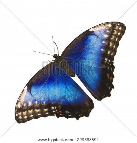 Bright opalescent blue morpho butterfly, Morpho helenor marinita female, isolated on white background with wings open. stock photo