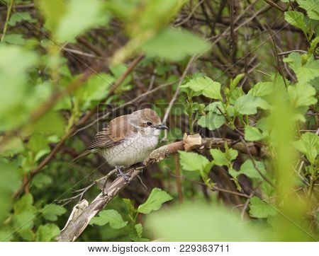 A nestling of the red-backed shrike, Lanius collurio, on a branch among the leaves. The touching young bird, a fledgling, has a brown back and a light hawk-like chest stock photo