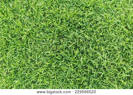 Grass Texture Or Grass Background. Green Grass For Golf Course, Soccer Field Or Sports Background Co
