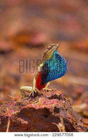 Fan Throated Lizard- male, Sitana ponticeriana, displaying fan, Satara, Maharashtra, India stock photo