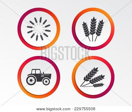 Agricultural icons. Wheat corn or Gluten free signs symbols. Tractor machinery. Infographic design buttons. Circle templates. Vector stock photo