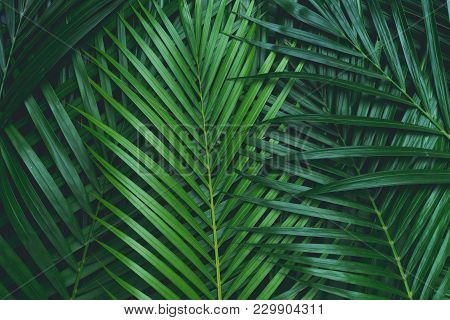 Palm Leaves, Coconut Leaves. Greenery Background. Tropical Leaf Background