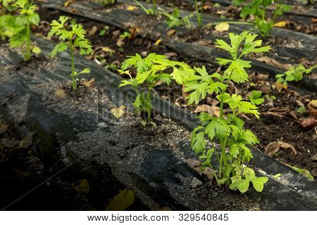 Heirloom celery beds in a vegetable garden, protected by black landscape plastic from frost, with a place for text stock photo