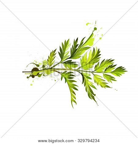 Chervil or French parsley herb graphic illustration. Delicate annual herb related to parsley. Used to season mild-flavoured dishes and is a constituent of French herb mixture fines herbes. Digital stock photo