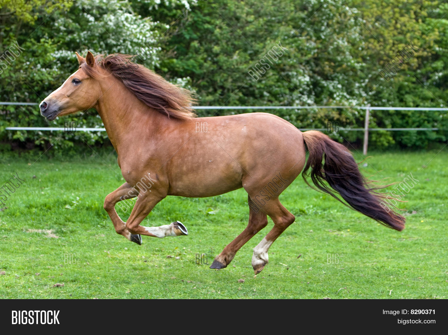 Beautiful Horse Running Image Stock Photo 8290371