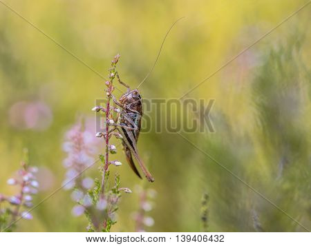 Bog Bush-cricket (Metrioptera brachyptera) perched on heath in natural habitat stock photo