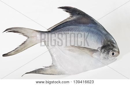 Single White or Silver Pomfret fish closeup stock photo