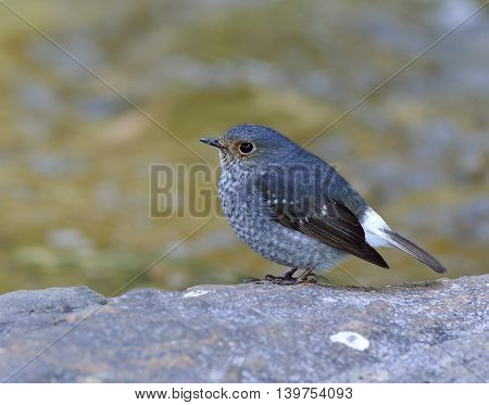 Beautiful bird Female of plumbeous water redstart (Rhyacornis fuliginosa) the chubby grey bird standing on the rock showing side feathers in the stream stock photo