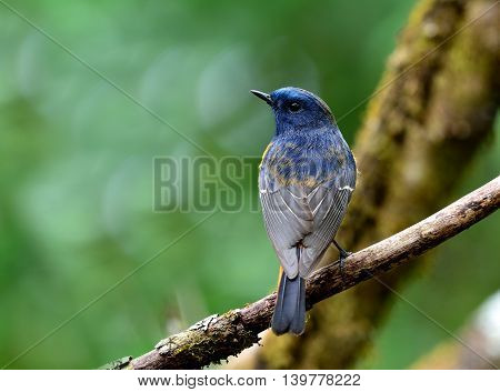 Male of Blue-fronted redstart (Phoenicurus frontalis) the beautiful blue bird perching on the branch showing its full back feathers profile stock photo