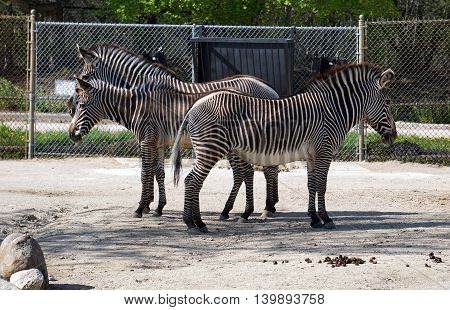 Three Grevy's zebras (Equus grevyi), a stallion, a foal and a mare, stand together, their stripes seeming to blend together. stock photo
