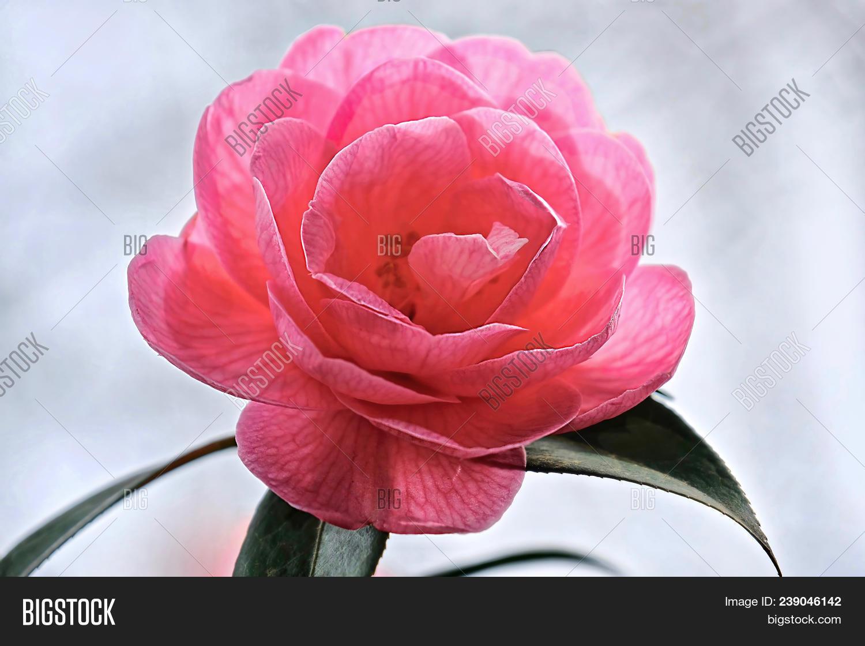 beautiful,beauty,bloom,blossom,bush,camelia,camellia,chinese,closeup,evergreen,flower,flowering,garden,gift,gorgeous,japanese,japonica,leaves,macro,on,petal,pink,plant,pretty,purple,romance,romantic,shrub,soft,spring,summer,tea,valentine,white