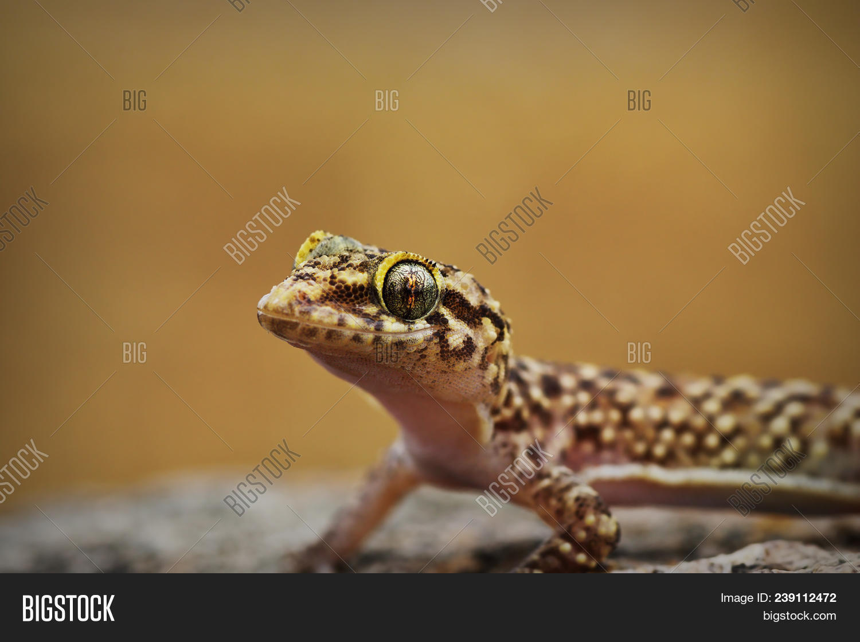 Portrait Of Curious Mediterranean House Gecko Hemidactylus