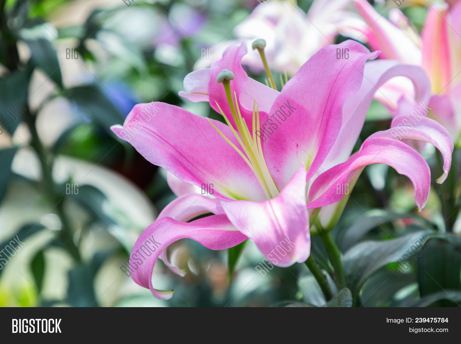 pink lily flower beautiful lily flower in lily flower garden artistic background beautiful izmirmasajfo
