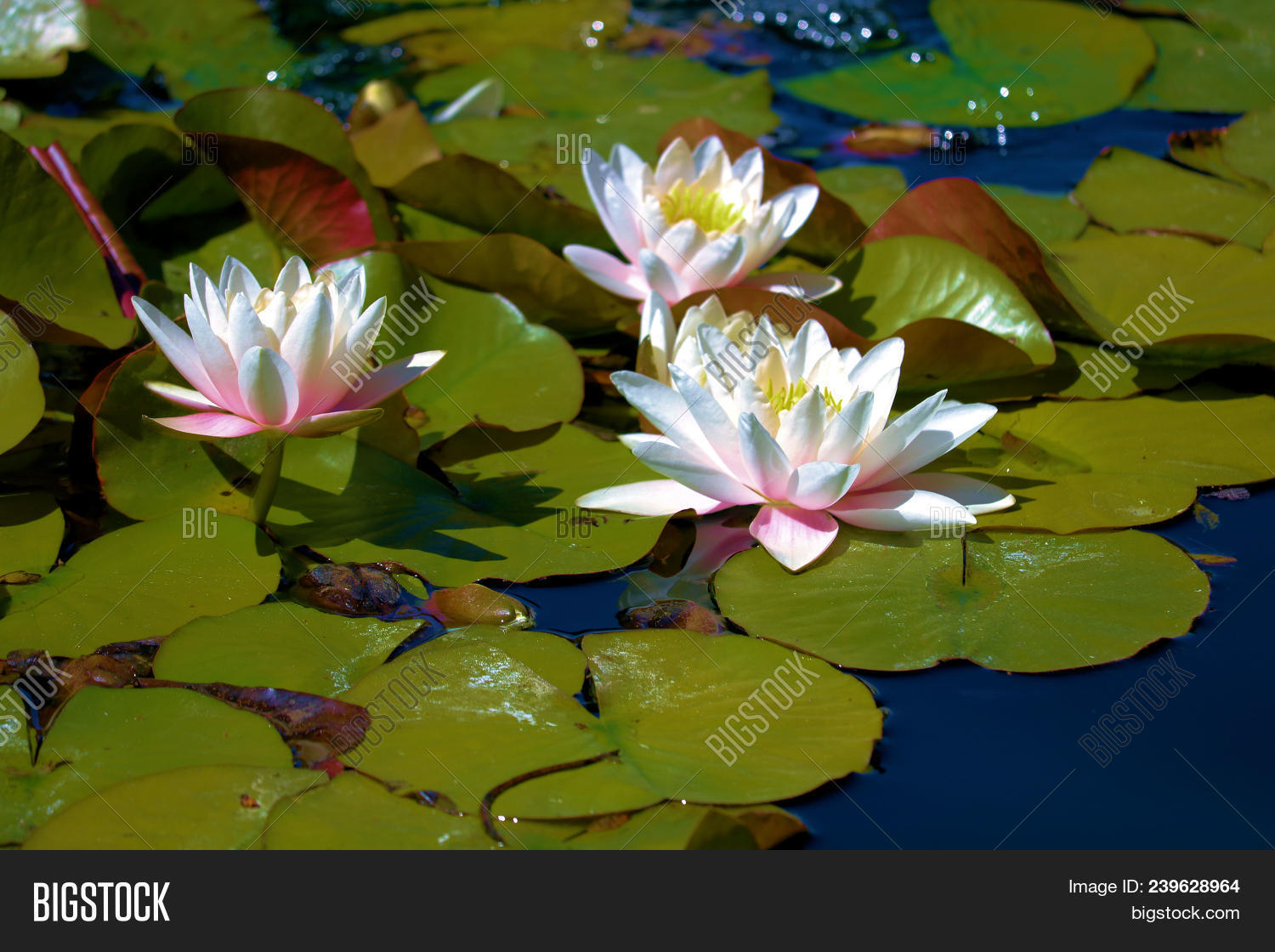 Lily Pads With Lotus Flowers Taken At A Pond In A Zen Meditation