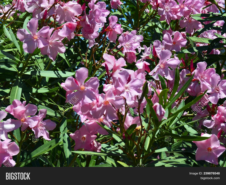 Blooming Oleander Oleander Nerium Bush With Beautiful Pink