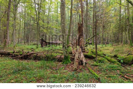 Atumnal landscape of deciduous stand with spruce trees stump and old oak trees in background moss wrapped, Bialowieza Forest, Poland, Europe stock photo