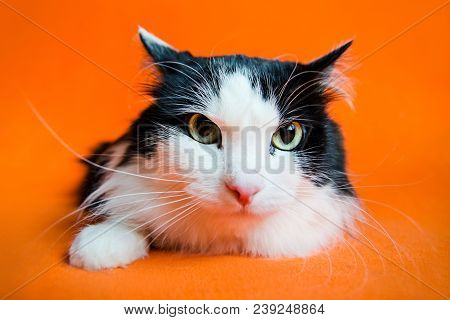 Mongrel black and white cat in stress looks in camera on orange background. stock photo