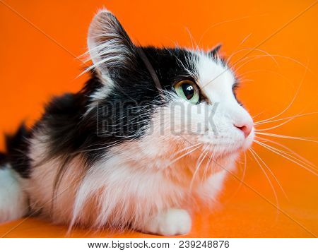 Mongrel black and white cat looks up and aside on orange background. stock photo